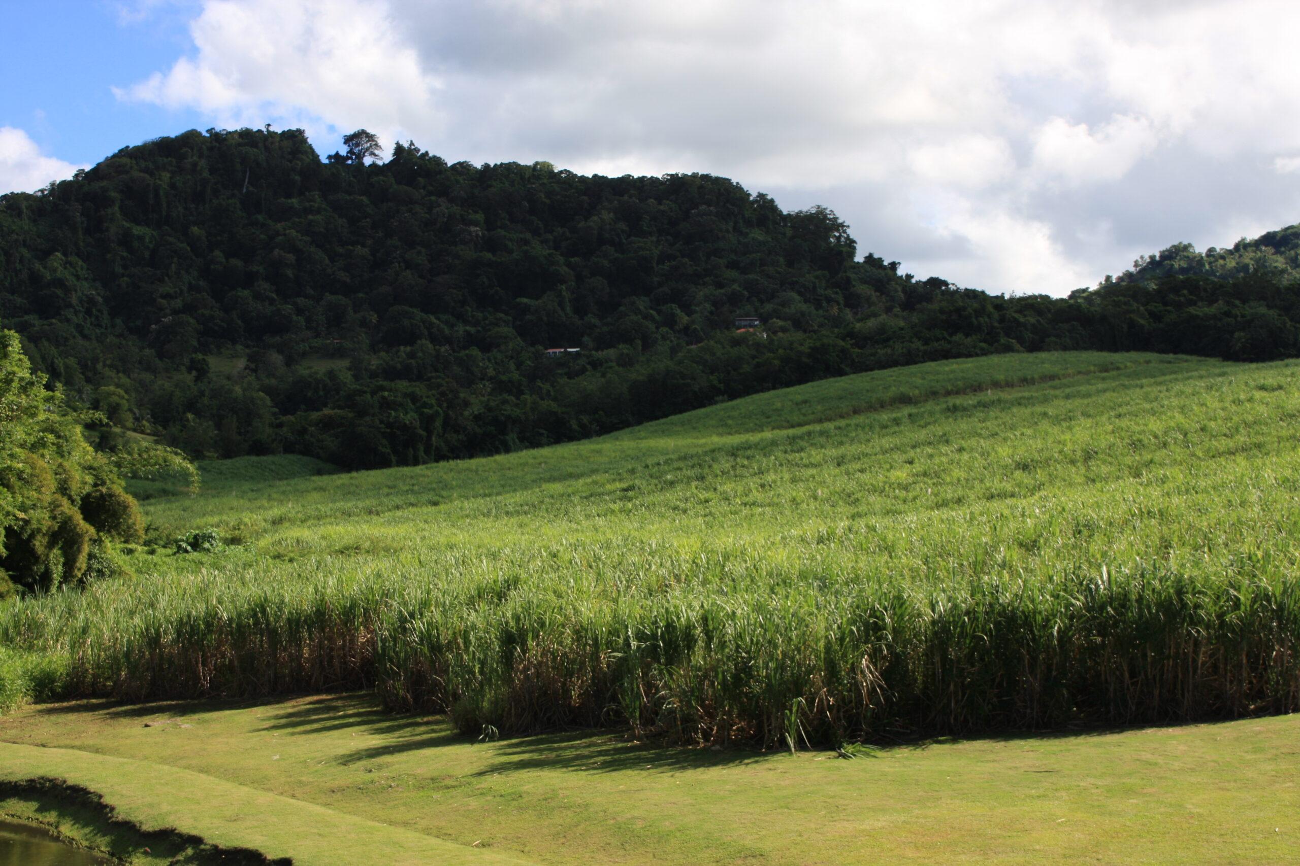 Sugar cane for dummies